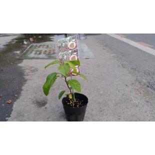 蜜糖百香果  果樹植栽