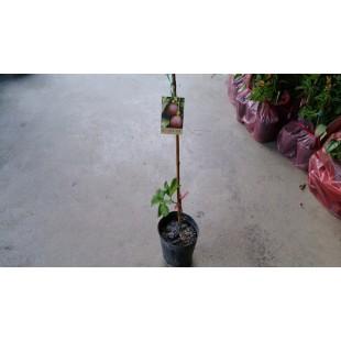 新芳百香果  果樹植栽