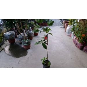 紅毛丹  果樹植栽