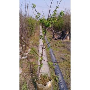 大果脆梅  果樹植栽