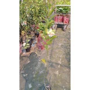 椪柑  果樹植栽