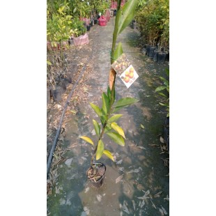 桶柑  果樹植栽