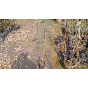 鳳眼果  果樹植栽