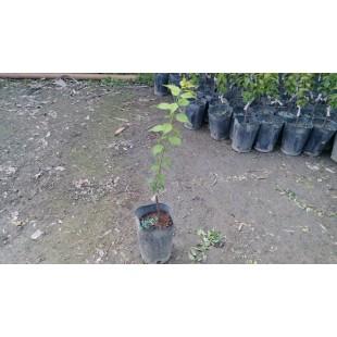 熱帶大梅(苗)  果樹植栽