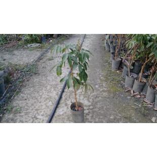 玉荷包荔枝  果樹植栽