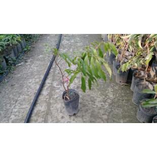 糯米籽荔枝  果樹植栽
