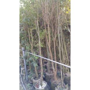 巴西櫻桃  果樹植栽