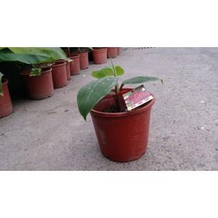 蘋果蕉  果樹植栽