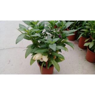 香瓜梨  果樹植栽