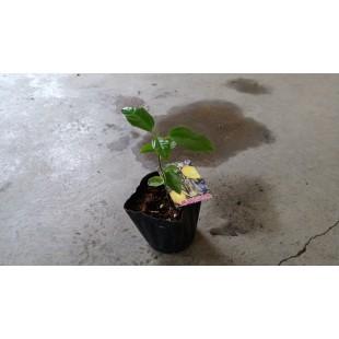 黃甜百香果  果樹植栽