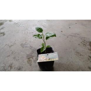 黃金百香果  果樹植栽