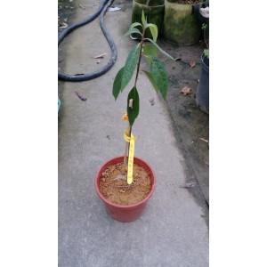 山胡椒  果樹植栽