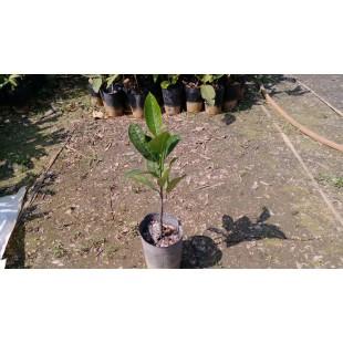 波羅蜜  果樹植栽