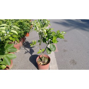 文旦柚  果樹植栽