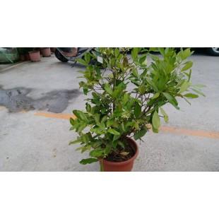 巴西甜櫻桃  果樹植栽