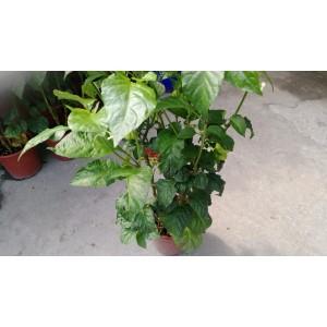 毒蠍椒  果樹植栽