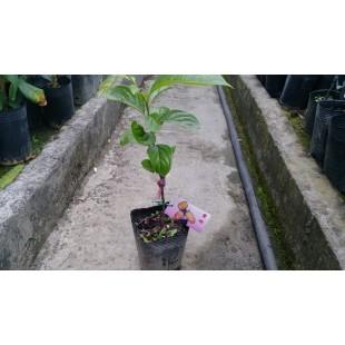 蜜柿 果樹植栽