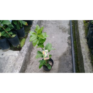 扁實檸檬 果樹植栽