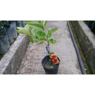 次郎甜柿 果樹植栽
