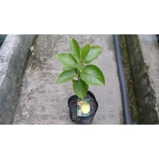 水柿  果樹植栽