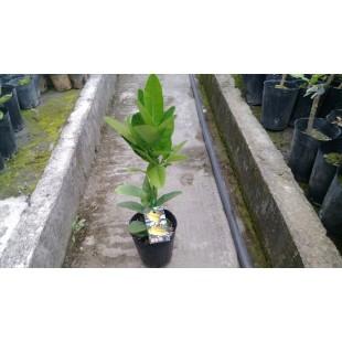 佛手柑  果樹植栽