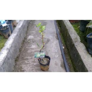 蜜棗  果樹植栽