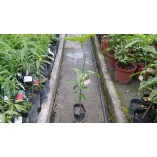 黑香芒果  果樹植栽