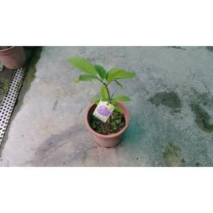 蜜紅釋迦  果樹植栽