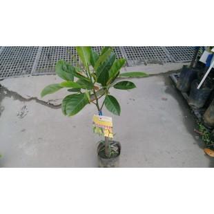 黃金無核榴槤蜜  果樹植栽