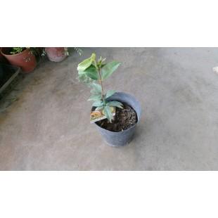 肯布卡大黃嘉寶果  果樹植栽