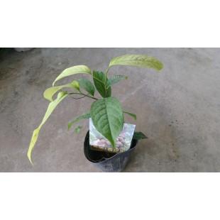 香波果  果樹植栽