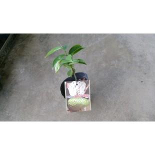蜜紅毛榴槤  果樹植栽