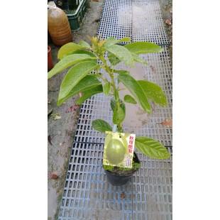 秋可酪梨  果樹植栽