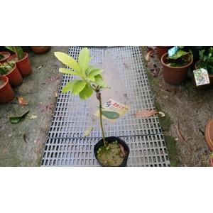 加林一號酪梨  果樹植栽