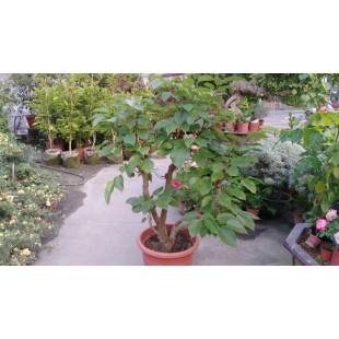 長果桑椹  果樹植栽