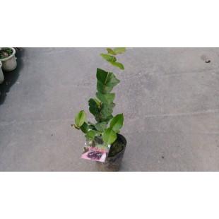 早生種甜櫻桃  果樹植栽