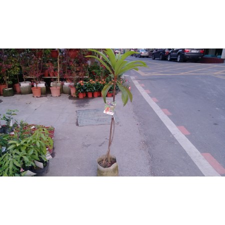 媽咪果(樹木瓜)  果樹植栽