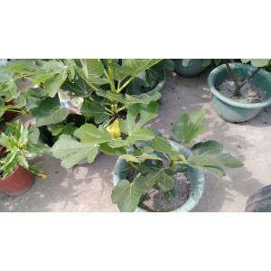 條紋西瓜無花果 果樹植栽