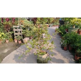 四季樹葡萄 果樹植栽