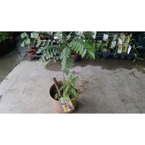 咖哩樹 果樹植栽