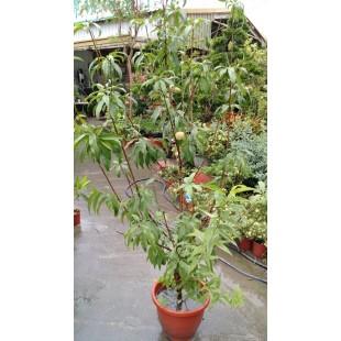 熱帶水蜜桃  果樹植栽