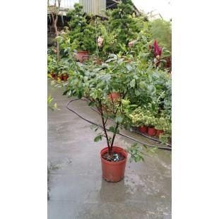 紅肉李 果樹植栽