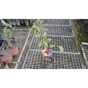 東魁楊梅 果樹植栽