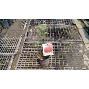 蜜蘋果 果樹植栽
