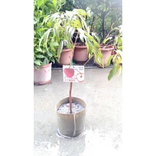 大丁香荔枝 果樹植栽