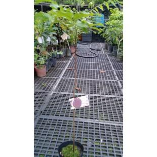 葡萄桑 果樹植栽
