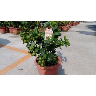 四季金剛桔 果樹植栽