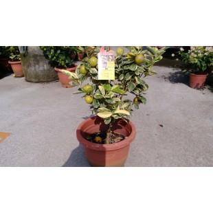 斑葉金桔 果樹植栽
