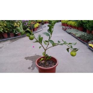 四季檸檬 果樹植栽