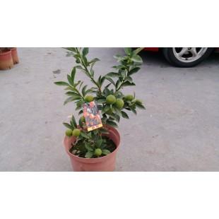 甜桔  果樹植栽